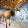 Elk - The King Of The Forest. Ski museum, Holmenkollen