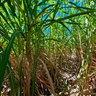Inside a field of sugar cane