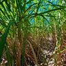Inside a field of sugar cane