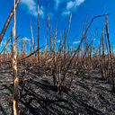 Burnt sugar cane 2