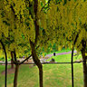 Laburnum arch