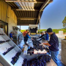 Pinot Noir, Destemmer Crusher Sort, Shea Wine Cellars, Newberg, OR