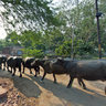 Buffalos Headed Towards the Taj Mahal 