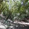 Bosc de boixos gegants