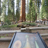 Sequoia - General Sherman Tree