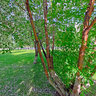 Цветущая Черёмуха Маака в Яблоневой роще