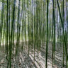Blithewold Bamboo Forest