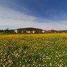 Púpavová lúka /Dandelion meadow