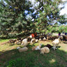 Ovce v Stupave / The Sheeps in Stupava (SVK)