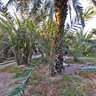 Al Ain Oasis Palm Trees