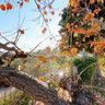 Tuscany Persimmon Tree
