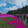 Fuji Shibazakura (Moss Phlox)Festival 2014