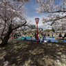 Cherry-Blossom Viewing at Himeji Castle