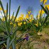 Narcisse jaune Creach Gwen Quimper