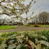 Quimper rond point du Frugi   Magnolia de Kobé 9922