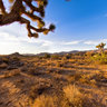 Joshua Trees, Mojave Desert at Dawn