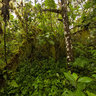 Panorama of a daisy forest, Galápagos Islands