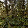 Temperate rainforest Olympic Peninsula, Washington