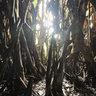 Maria Aurora's Millennium Tree