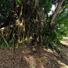 Giant Balete Tree