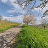 The appels blossom near Merzhausen