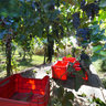 Grape harvest in Pero 2