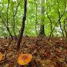 Lactarius Volemus, Marselisborg Forest