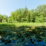 Water Lillies And Horsetails In Gudhjem Plantation