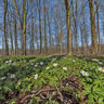 Anemone flowers In Havreballe Forest