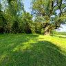 1000 year old Oaktree