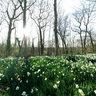 Daffodils at Parc de Sceaux