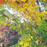 Ricoh THETA shot, Maple Grove, Hoyt Arboretum, Autumn Image 02