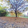 Ricoh THETA shot, Maple Grove, Hoyt Arboretum, Autumn Image 03