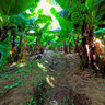 Dense Banana Farm in Arba Minch Ethiopia panorama by Eternal Media