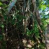 Tanna, Vanuatu : Inside a Banyan