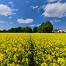 Rapeseeds, Munich, Germany