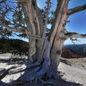 Bristlecone Pine, Cedar Breaks National Monument, Utah, USA
