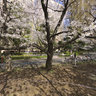 Cherry blossoms full-bloomed
