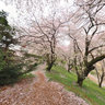 Full-bloomed cherry blossome on Nanakoshiyama-kofun tomb