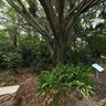 Brisbane Botanic Gardens: weeping fig