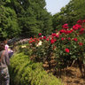 Rose Garden of Yono park 2