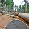Giant sequoia trees 2