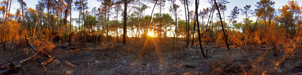 Pine forest after forest fire
