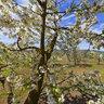 Cherry Blossom - inside