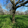 blossoming cherry tree orchard Grootgelmen01