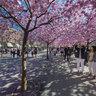 Cherry Blossom Stockholm Kungsträdgården