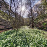 A carpet of wild garlic (ramsons) at Lumbutts Clough near Todmorden