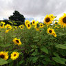Codford, Wiltshire. Sunflowers