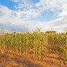Dis Mos Mielies Corn Field