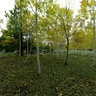 Yankee Meadow's Aspen Grove